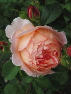 """Carding Mill"", David Austin Rose~Image by pallot-needled247"