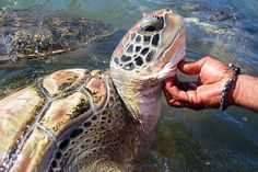Turtle Farm, Grand Cayman- HARD TO PICTURE A WORLD WITHOUT THESE GRACEFUL GIANTS