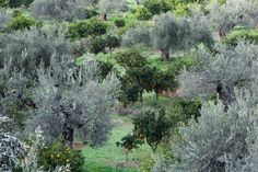 Olives and Oranges - Greek Flora