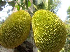 Jaca - árvore tropical de grande porte, nativa da Índia. Produz o maior de todos os frutos comestíveis que crescem diretamente sobre o tronco de árvore. É cultivada principalmente na Ásia e no Brasil. Chega a pesar mais de 30 quilos e atingir até 40 centímetros de comprimento. No interior da fruta encontra-se a polpa fibrosa de cor amarelada, que contém várias sementes dispersas (bagos), que possuem de 2 a 3 cm de comprimento.