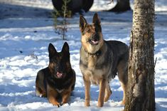 Kijiji - Buy, Sell & Save with Canada's Local Classifieds German Shepherd Puppies, German Shepherds, Puppies For Sale, Dogs And Puppies, Social Environment, Humane Society, Small Dogs, Husky, Pets
