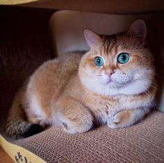 Meet Hosico RealLife Puss In Boots Real Life Cat And British - Hosico the cat is pretty much the real life puss in boots