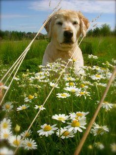 Hazel in the daises.