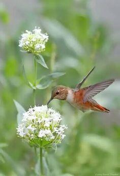 J'aime. Cute Birds, Small Birds, Little Birds, Pretty Birds, Colorful Birds, Bee Hummingbird, Hummingbird Pictures, Butterfly Park, Especie Animal