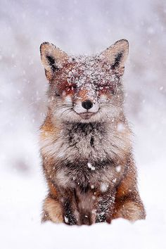 Fairytale Fox (by Roeselien Raimond) Red Fox, Best Couple, Fairy Tales, Creatures, Snow, Wildlife Nature, Adventure Awaits, Foxes, Winter
