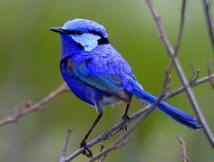 Never heard of these before today. This is a Splendid fairywren. She is indeed splendid!! Gorgeous colours!