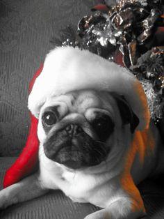 A very sweet Spanky the pug!