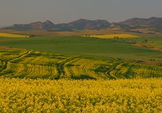 Canola - Swartland St Helena, West Coast, South Africa, Westerns, Cape, Travel, Outdoor, Mantle, Cabo