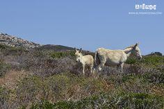Asinelli bianchi dell' #ASINARA #Sardegna #Sardinia