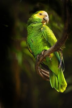 A Yellow Headed amazon Parrot