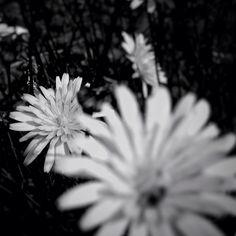 yellow flowers #bnw #nature #minimal