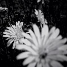 yellow flowers #bnw #nature #minimal