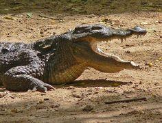 http://esmesanbona.hubpages.com/hub/How-to-Interpret-Alligators-and-Crocodiles-as-Dream-Symbols