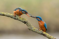 Courtship behaviour of a pair of kingfishers. The male offers a fish to the female in Gelderland, Netherlands.