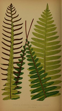 Ferns: British and exotic V.4  London,Groombridge and Sons,1856-60.  biodiversitylibrary.org/item/107961