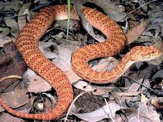 We share our continent with about 140 species of land snakes, some equipped with venom more toxic than any other snakes in the world. Australia's snakes have things pretty well covered.