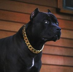 Uplifting So You Want A American Pit Bull Terrier Ideas. Fabulous So You Want A American Pit Bull Terrier Ideas. Pitbull Noir, Black Pitbull Puppies, Dogs And Puppies, All Black Pitbull, Dogs Pitbull, Doggies, Blueline Pitbull, Big Dogs, Cute Dogs