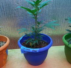 warrenthestrain:    stoner weed strain marijuana kush ganja 420cannabis pot herb