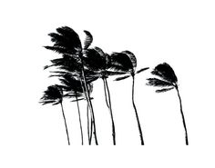 Palm Trees in the Wind