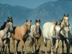 Curious wild horses of all colors - palomino, roan, appaloosa, dun, gray