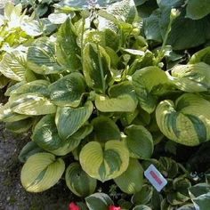 Unforgettable Hosta