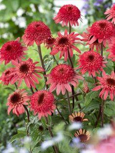 Raspberry Truffle #Echinacea