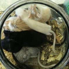 Bowl of sleeping Gerbils