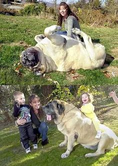 Giant Dog - English Mastiff. Hoping when we have a yard we will add one to our family. AMAZING temperament especially with kids!