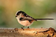 Samuel Aron: Long-tailed tit. 1st Place, Young Garden Photographer of the Year.Picture: Samuel Aron, International Garden Photographer of the Year