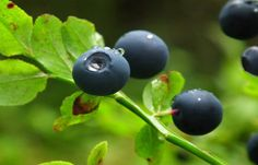 Billberry | 30 Medicinal Plants That Could Save Your Life #survivallife www.survivallife.com