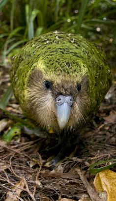 Kakapo (Strigops habroptilus) Commonly known as the owl-parrot, this flightless bird of New Zealand is nocturnal and dwells on the ground. It is the heaviest parrot in the world. It can be identified by the beautiful mossy green feathers mottled with brown and yellow, which serve as a camouflage against the forest floor. The bird also has whisker-like feathers around its beak, which help in navigation on ground.