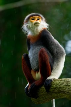 Pygathrix nemaeus, Laos, Nord-Vietnam un d Nordost-Kambodscha, photo: Thomas Marent Animals Of The World, Animals And Pets, Baby Animals, Funny Animals, Cute Animals, Primates, Mammals, Monkey Pictures, Animal Pictures