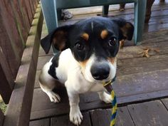 06/16/16--HOUSTON- FACILITY IS AT TRIPLE CAPACITY -EXTREMELY HIGH KILL FACILITY - This DOG - ID#A461784 I am a male, tricolor Rat Terrier mix. The shelter staff think I am about 1 year old. I have been at the shelter since Jun 16, 2016. This information was refreshed 10 minutes ago and may not represent all of the animals at the Harris County Public Health and Environmental Services.