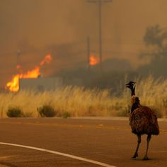 Emu Escaping Wildfire Watches As Homes Go Up In Flames Bushfires In Australia, California Wildfires, Go Up, Wild Fire, Search And Rescue, Dry Brushing, Fire And Ice, Blue Abstract, Firefighter