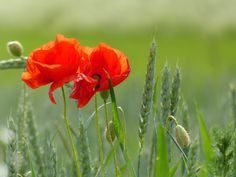 poppies in wheat