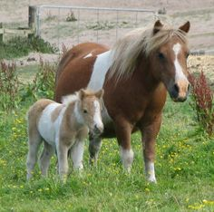 Tessa Minor - Shetland Pony mare