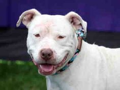 MARTHA - ID#A5113097\r\n\r\nMy name is Martha and I am described as a female, white Pit Bull Terrier\r\n\r\nThe shelter thinks I am about 5 years old.\r\n\r\nI have been at the shelter since Oct 30, 2017.\r\nBack\r\nFor more information about this animal, call:\r\nLos Angeles County Animal Control - Carson at (310) 523-9566\r\nAsk for information about animal ID number A5113097