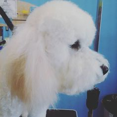 Miss Lulu is the queen of fluff #wagsmytail #tucsondoggrooming #doggrooming #doggroomer A well groomed dog is a well loved dog! Call us today to schedule your dog grooming appointment 520-744-7040