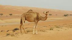 Camel...Oman