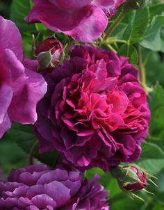 'Souvenir de Brod' | Hybrid Setigera, Historic Rose. Geschwind, circa 1886 | © Palatine