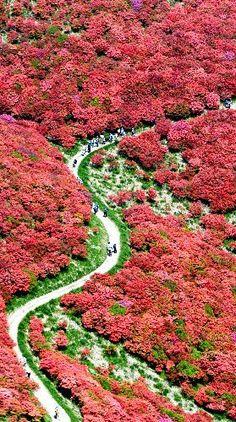 Azalea road of Mt. Katsuragi, Nara, Japan