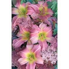 """Daylily BOGO Free - Bama Music  Daylily  - 28"""" M D Re 5"""" bloom. Pale baby pink self with paler rib and a smaller lemon yellow throat. Flowers form a six point star! Blooms well in the sun and part shade."""