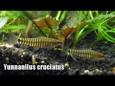 Yunnanilus cruciatus (Rendahl, 1944)