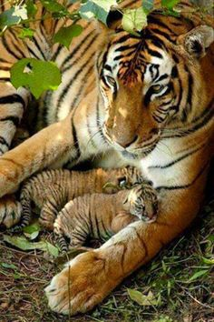 tiger cubs catching a snuggle. Tiger Cubs, Baby Tigers, Baby Cubs, Tiger Art, Bengal Tiger, Big Cats, Cats And Kittens, Kitty Cats, Lions