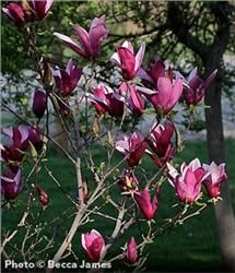 Jane Magnolia - Magnolia liliflora 'Reflorescens' x stellate 'Waterlily' Gorgeous tulip shape flowers open late in spring. Trees And Shrubs, Flowering Trees, Trees To Plant, Jane Magnolia Tree, Growing Flowers, Planting Flowers, Arbor Day Foundation, Arbour Day, Gardens