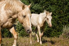 Cloud, the Pryor Mountain Wild Mustang Fine Art Wild Horse and Mustang Photography by Lost Canyon Photography starting at $15.00