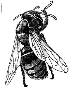 A black and white drawing of a bee. Not in love with the angle but like the verticality.