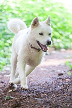Great Korea Chubby Adorable Dog - d6cf239a33327d655ca5c1c3b275e0c8--korean-adopt-a-dog  Gallery_271346  .jpg