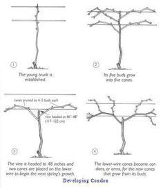 pruning training grape vines how to