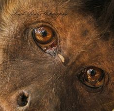 Primates: The Fearless Science of Jane Goodall, Dian Fossey, and Biruté Galdikas Dian Fossey, Jane Goodall, Orangutan, Great Memories, South Africa, Centre, Wildlife, Rice, Brown